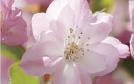 国産山桜エキス