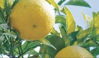 国産柚子精油